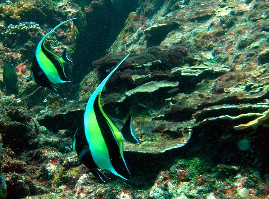 A pair of moorish idol Zanclus cornutus roaming coral area