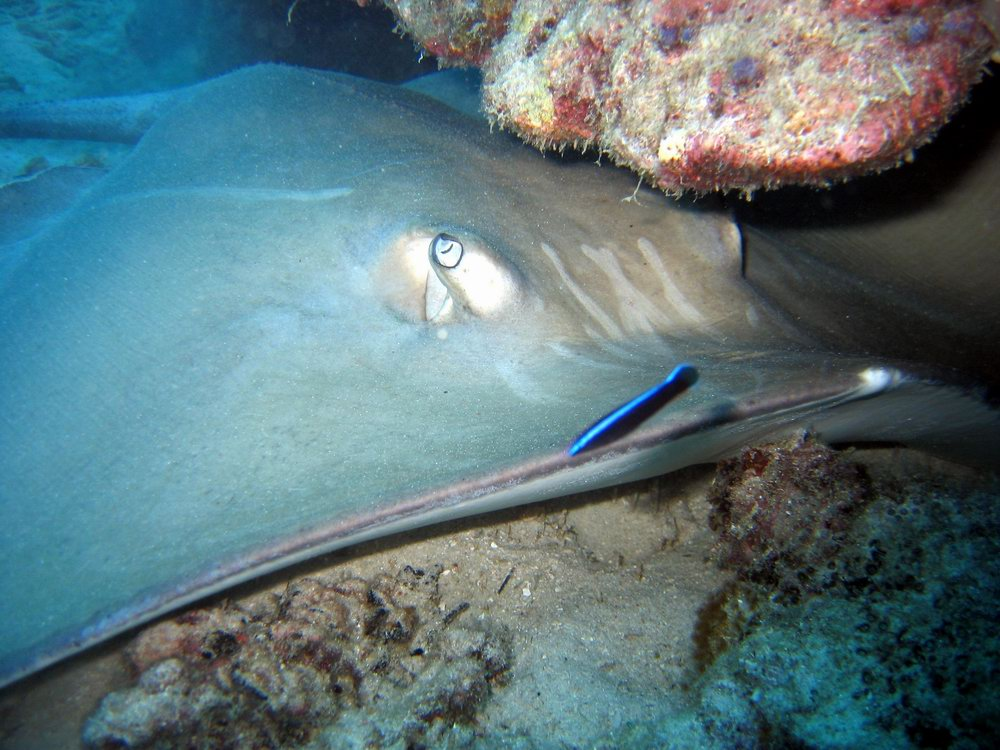 Jenkins whipray (Himantura jenkinsii) being cleaned by cleaner wrasse (Labroides dimidiatus)