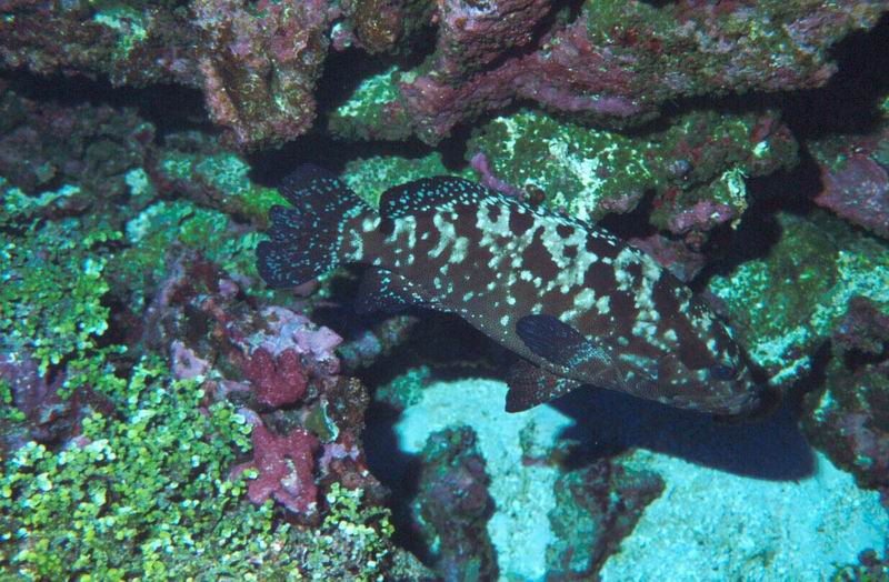Grouper (Ephinephelus sp.) on the reef slope
