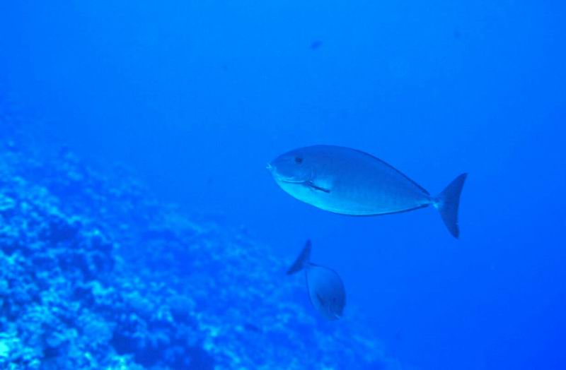 Surgeonfish on the reef slope