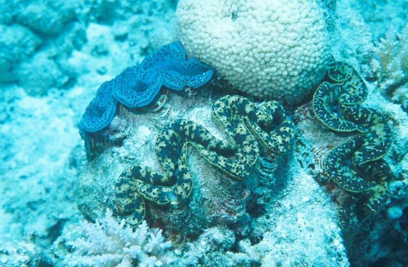 Giant clams (Tridacna sp.) in the lagoon