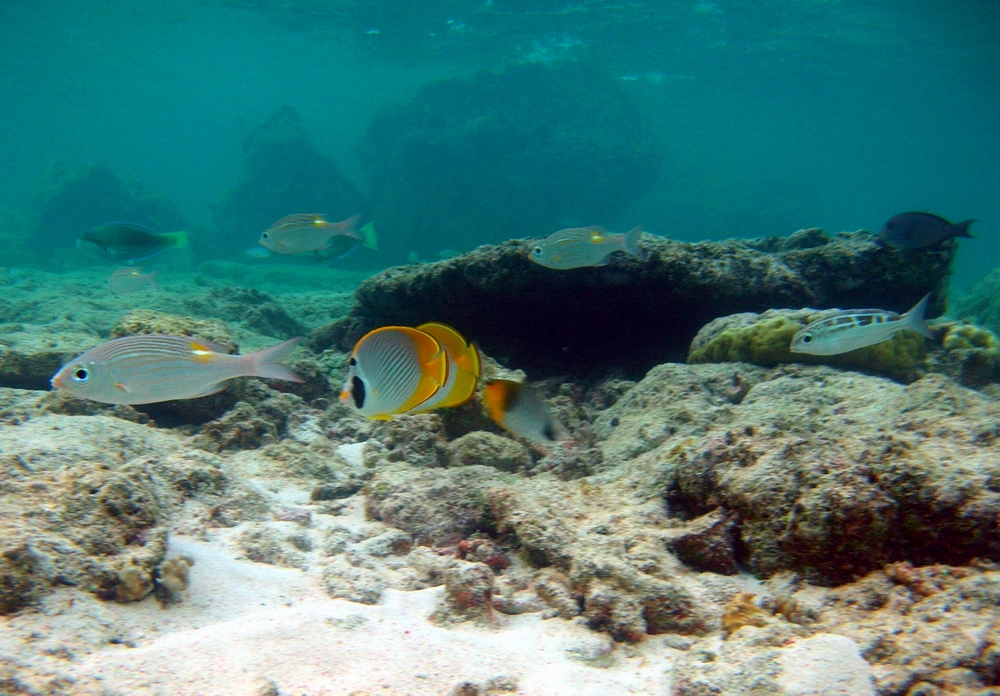 Large eye bream (Gymnodentex aureolineatus) and butterflyfish (Chaetodon adiergastos) on reef top