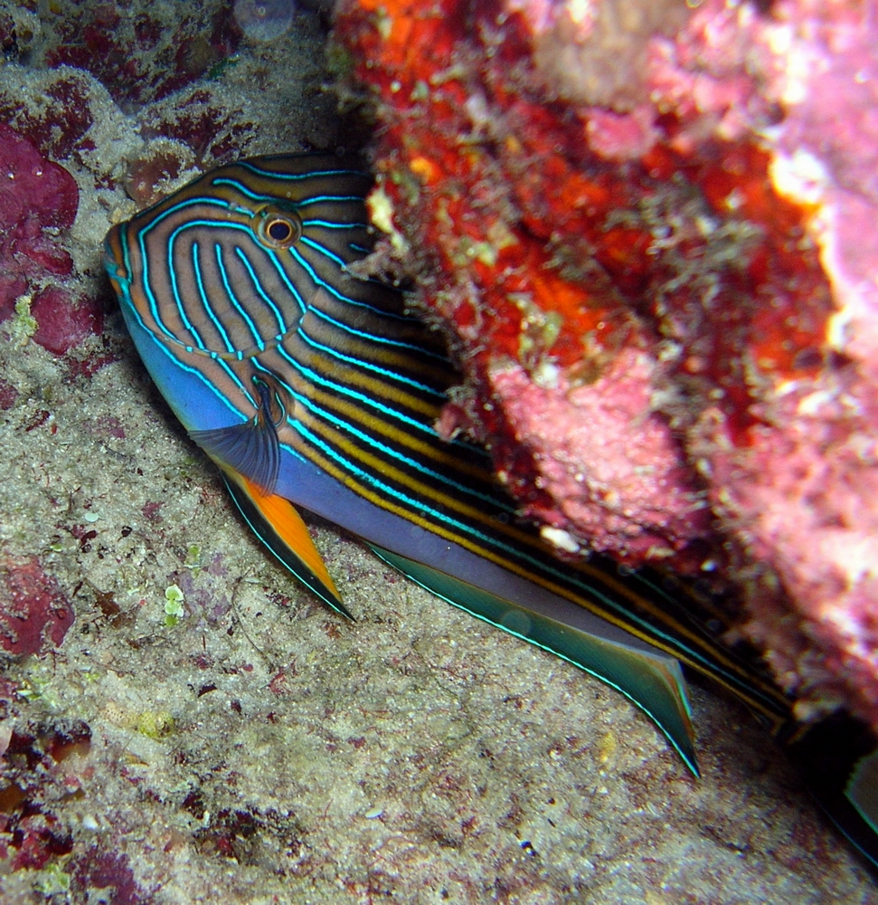 Surgeon fish (Acanthurus lineatus) hiding under coral ledge during the night
