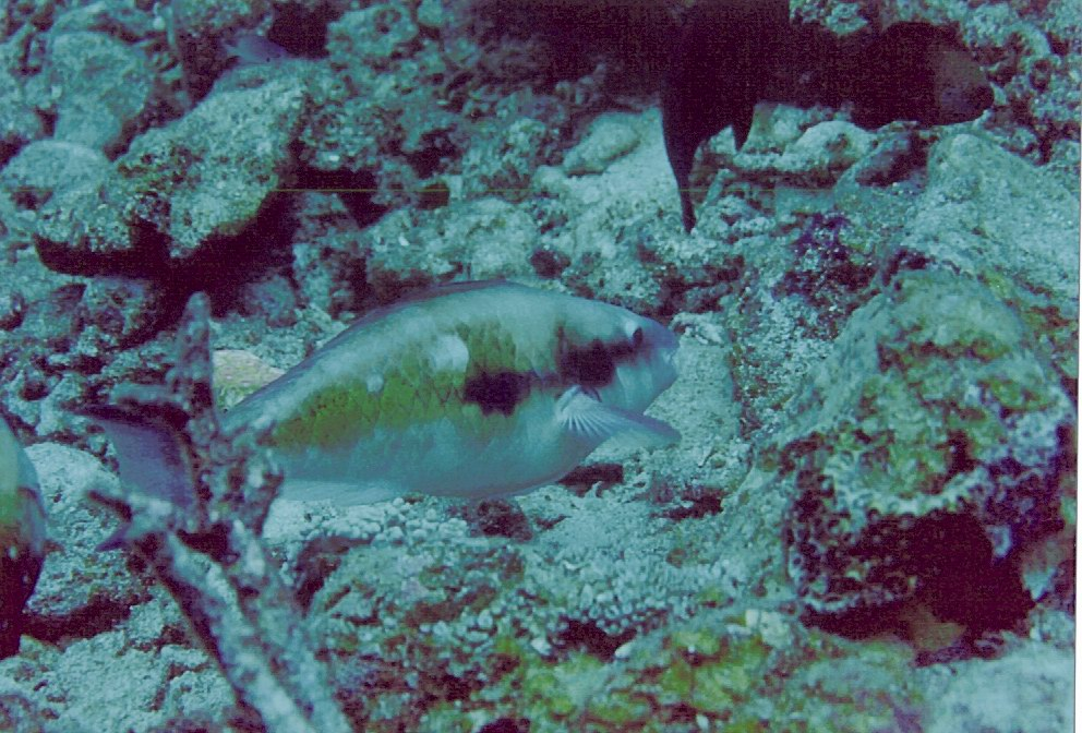 Parrot fish (Scarus forsteni) feeding
