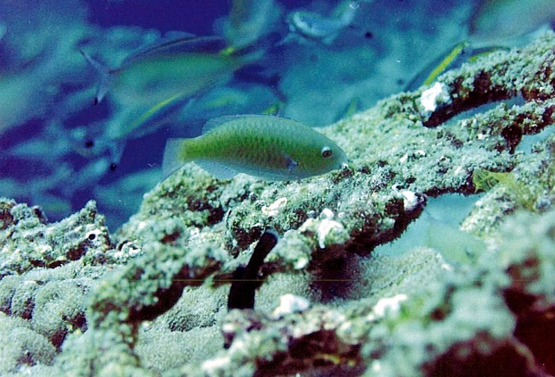 Parrotfish (Scarus sp.) feeding on algae growing on dead coral