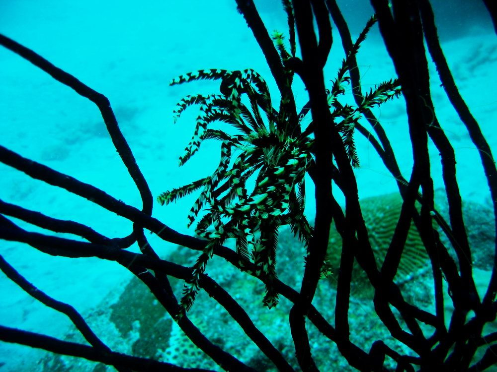 Feather star on gorgonian